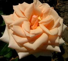 Die Rose der Aphrodite