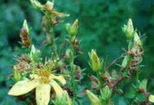 Johanniskraut Blätter und Blüten für Johanniskraut Tee