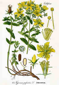 Johanniskraut, botanisch
