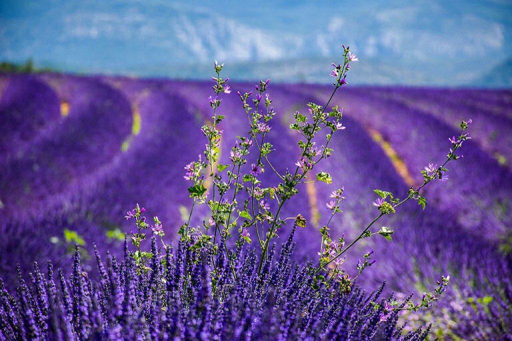 Hat Lavendel die Wirkung eines Heilkraut?