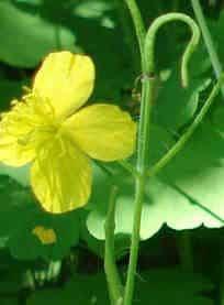 Schöllkraut Blüte