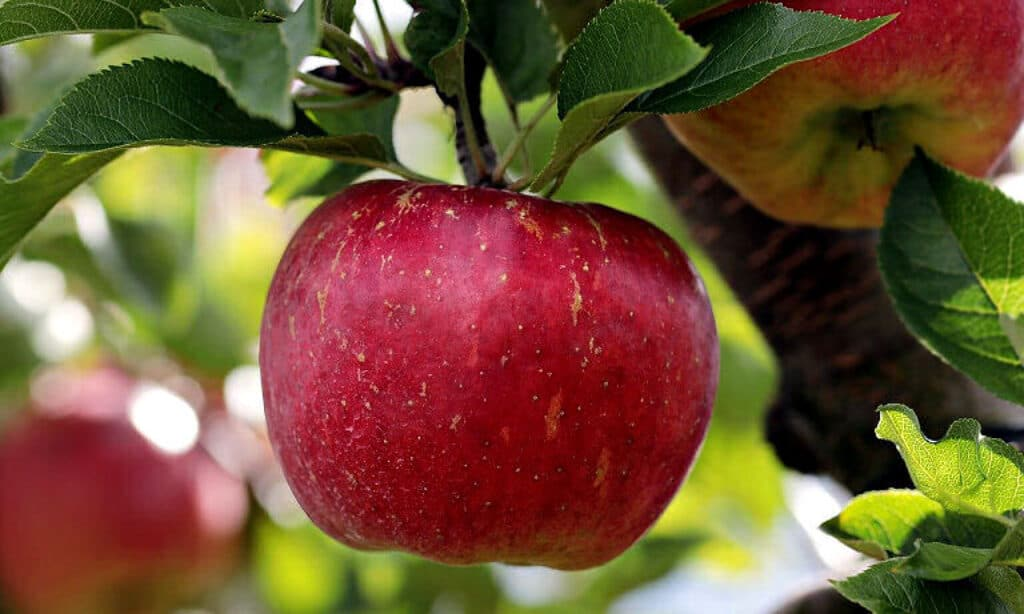 Äpfel - ganz frisch!