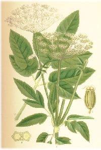 Giersch für ein Rezept mit Spinat