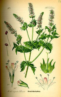 Minzepflanze