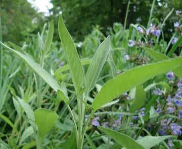 Allergien heilen mit Salbei