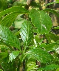 Jiaogulan Blätter, Kraut der Unsterblichkeit