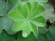 Für Frauenmantel Tee werden die Blätter verwendet