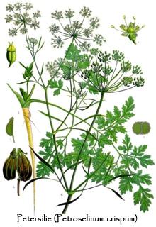 Kräuter Petersilie botanisch