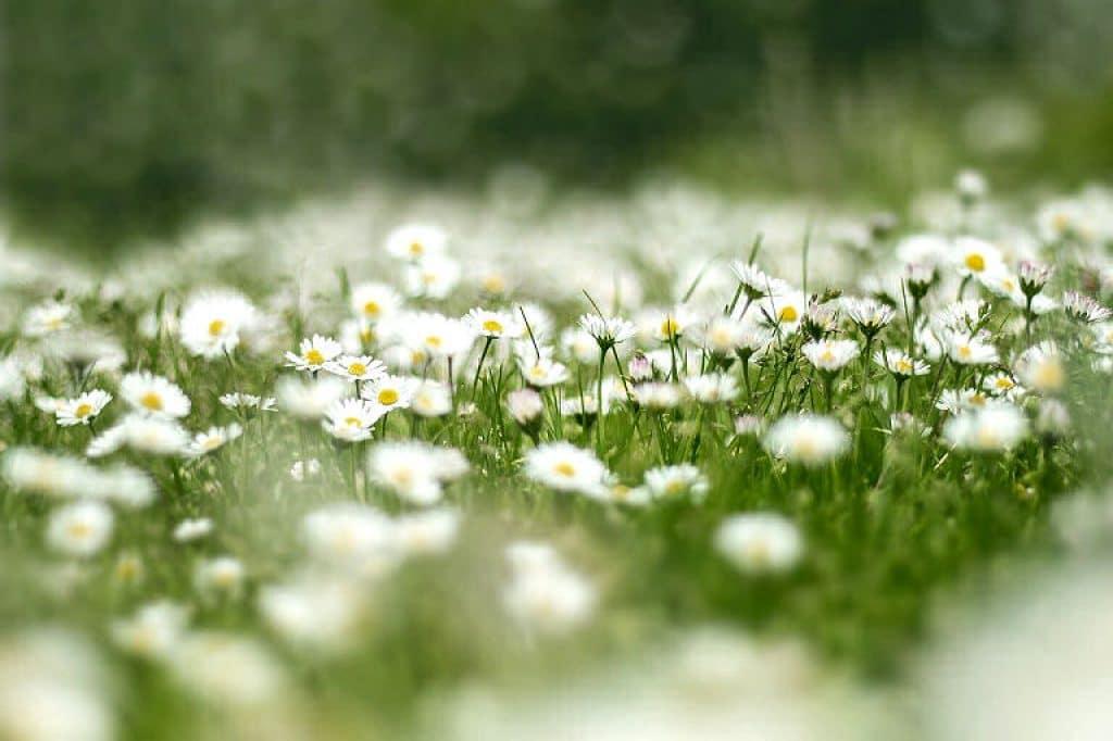Gänseblümchen sind heimische Pflanzen, die in jedem Garten wachsen.