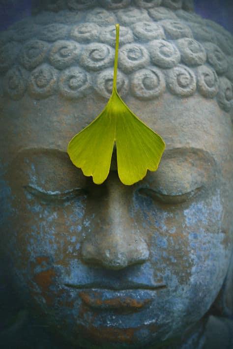 Wirkungen und Nebenwirkungen Gingko Biloba: Das Ginkgoblatt hilft beim Meditieren.