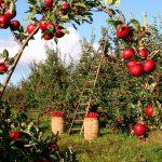 Holzleiter für die Apfelernte