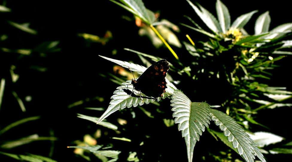 Schmetterling auf einer Cannabis Pflanze