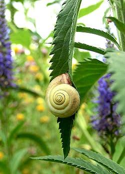 Cannabis Blatt mit Blüte