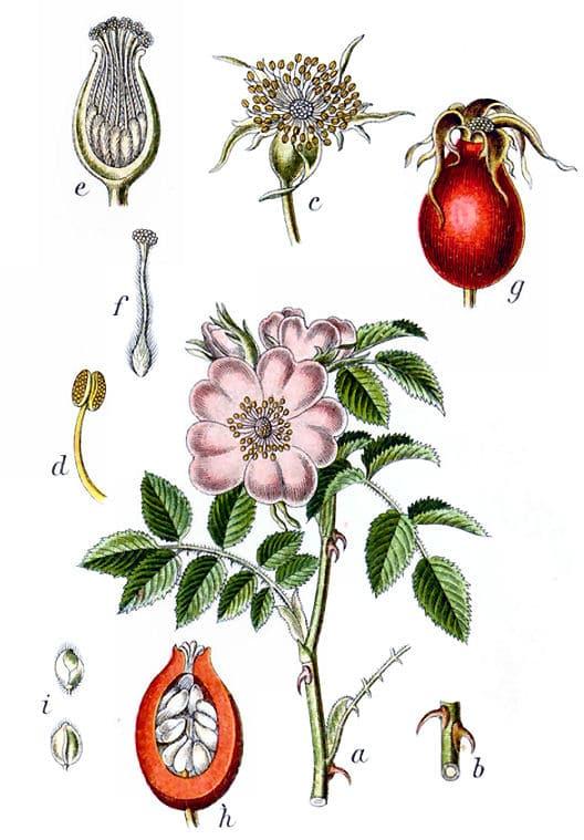 Ihr botanischer Name ist rosa canina