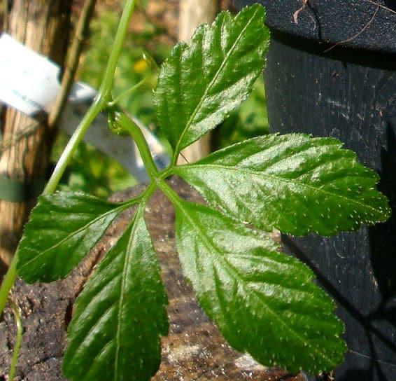 Der unsterblichkeit rauchen kraut Gynostemma pentaphyllum
