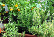 Kräuter selbst im Garten anbauen