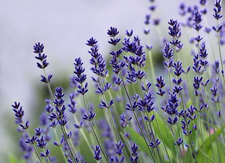 Lavendel beruhigt auf sehr angenehme Weise.