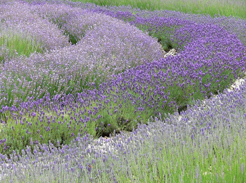 Lvendelduft - Lavendel Wiese