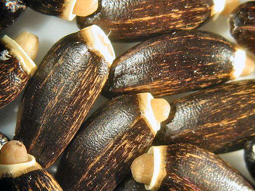Mariendistelfrüchte - mikroskopisch vergrößert - normal sind sie ca sechs mm lang
