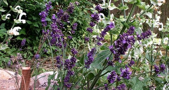 Kräuter sammeln und trocken lagern - Beispiel Lavendel