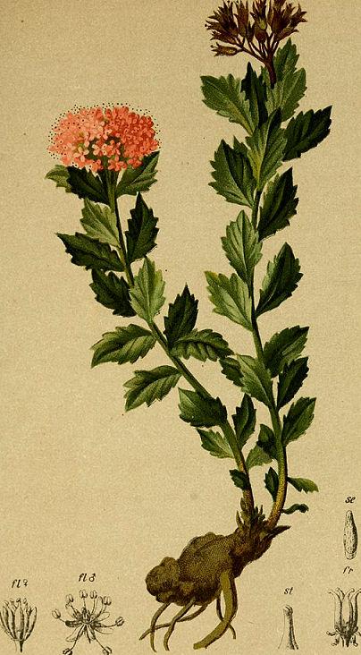 Rosenwurz Rhodiola_botanische Beschreibung