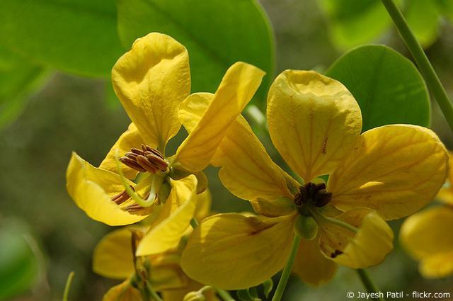 Die Kraft der Senna-Pflanze