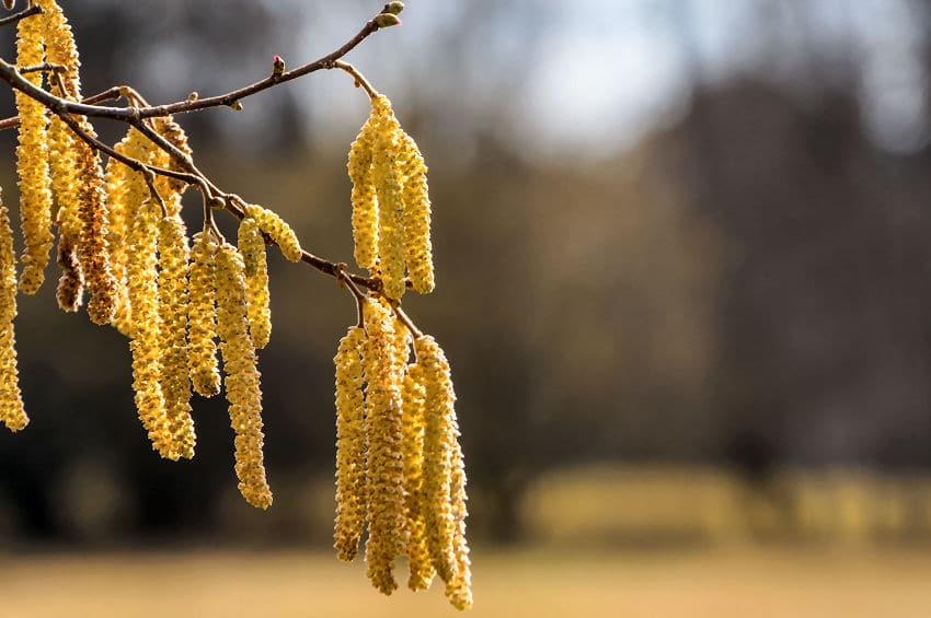 Auf Haselnuss Blütenstaub reagieren viele Menschen allergisch.