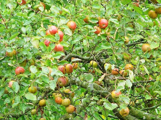 Apfel Zauber - Boskoop