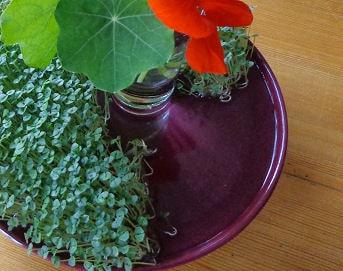 Chia-samen Keime und Kapuzinerkresse für den Salat