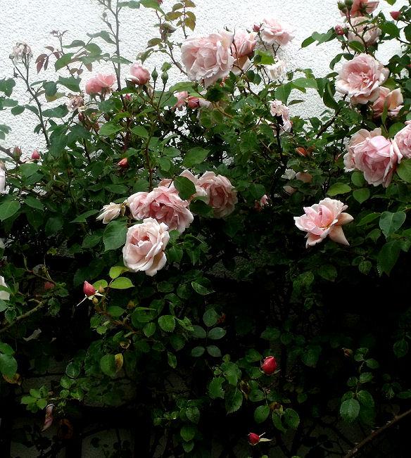 Rosenstrauch für üppige Ernte von Rosen, die man trocknen kann.