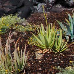 drei Aloe vera Pflanzen in ihrer natürlichen Umgebung