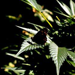 Schmetterling auf Cannabis Pflanze