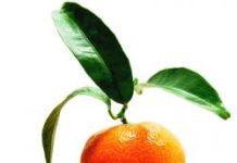 Frische Mandarine