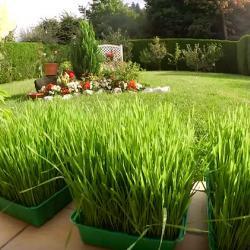 Gerstengras wie auch Weizengras kann man auch gut selbst anbauen