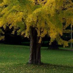 Ginkgo Baum - goldfarbene Blätter, gefurchter Stamm