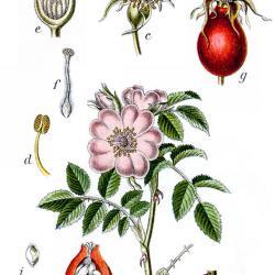 Die Hagebutte oder rosa canina
