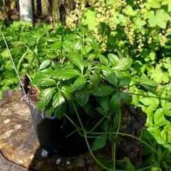 Jiaogulan für den Kräutergarten