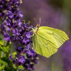 Lavendel - Blüte mit Schmetterling