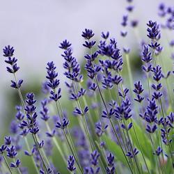 Lavendelduft - Lavendel Wiese