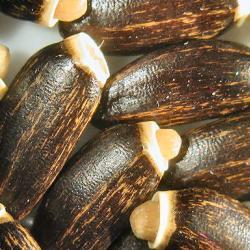 Mariendistelfrüchte - mikroskopisch vergrößert