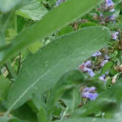 Salbei Blätter für den Salbei Tee