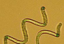 Spirulina - Blaubakterien