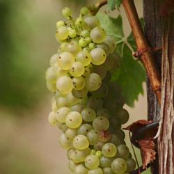 Alte Weinrebe