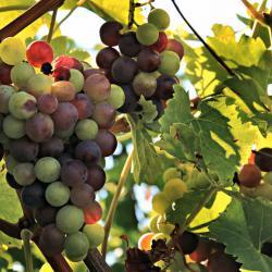 Malerische Weinrebe - Traubenkerne in spe