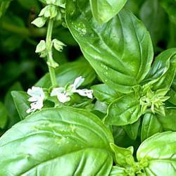 Kräuter Basilikum Blätter