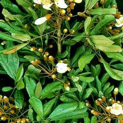 Catuaba - Pflanze