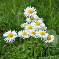 Welche Blumen Kann Man Essen : kann man g nsebl mchen essen kr uter und kr uter rezepte ~ Watch28wear.com Haus und Dekorationen