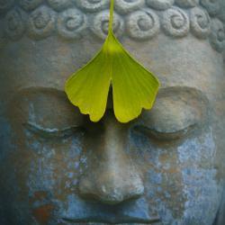 Wirkungen und Nebenwirkungen Gingko Biloba: Das Ginkgoblatt hilft beim Meditieren ;)