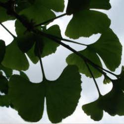 Ob Gingo Blatt oder Ginkgo Blatt: seine Form ist einmalig