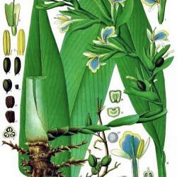 Kardamom - Pflanze und Pflanzenteile